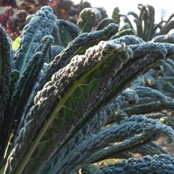 i'm excited about this improved tuscano kale called 'black magic'